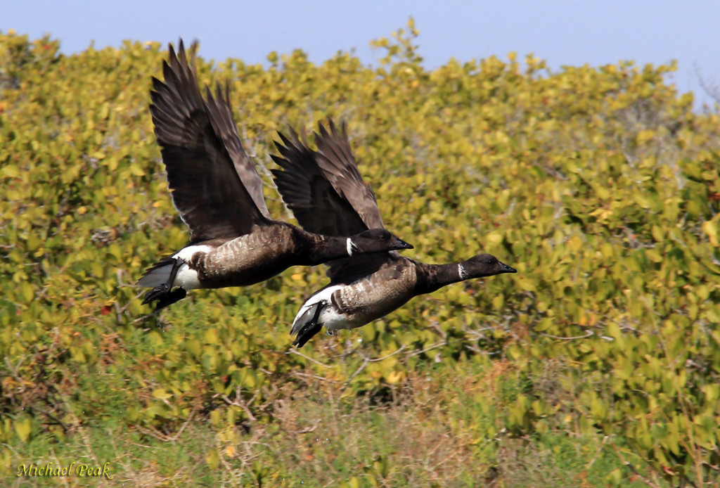 Brant Geese 1