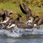 Brant Geese 2