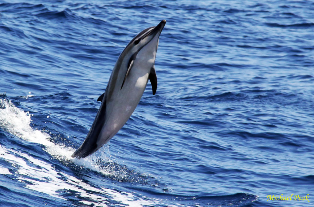 Dancing Dolphin 1