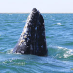 Gray Whale 1