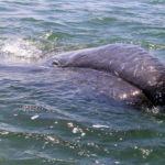 Baby Gray Whale 3