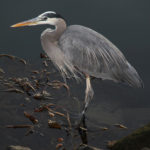 Great Blue Heron 1