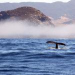 Morro Bay Humpback