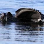 Humpback Jaws