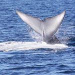 Blue Whale Flukes 1
