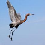 Red heron 2