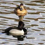 Ring Neck Ducks 2
