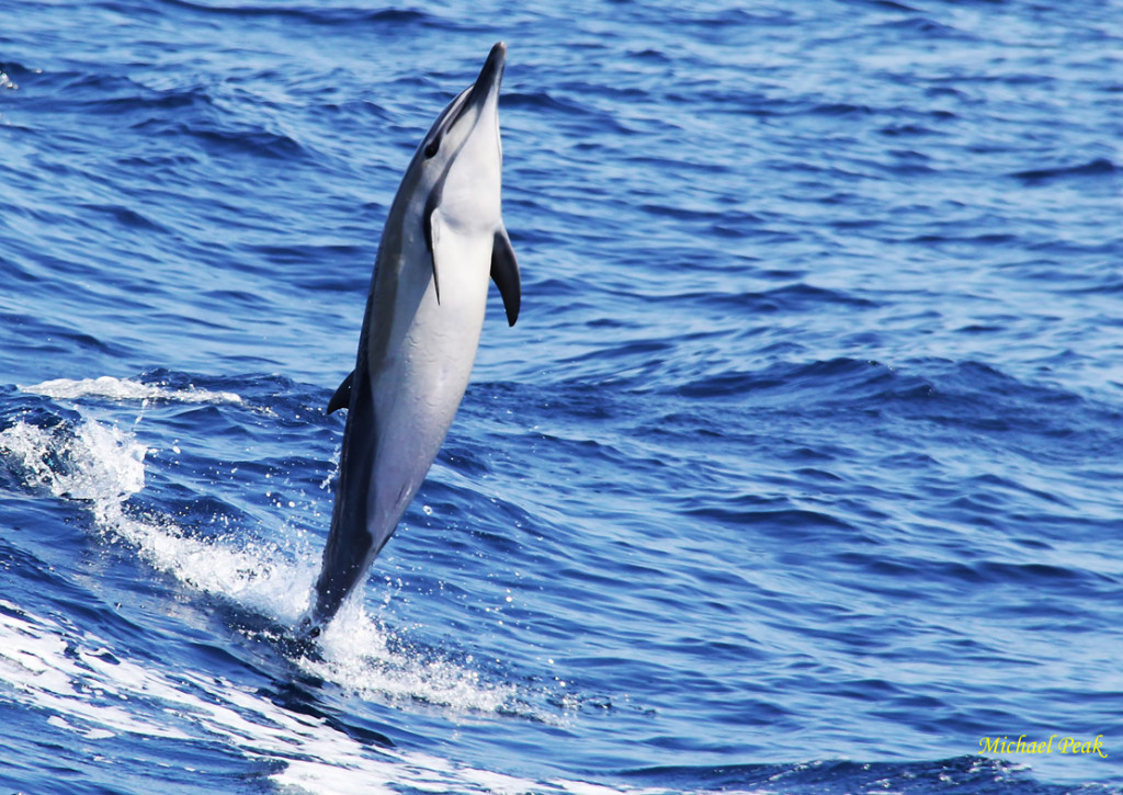 Standing Dolphin 1aa