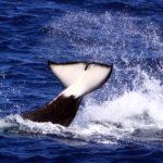 Orca Flukes