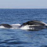 Blue Whale Feeding 1