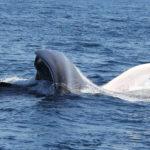 Blue Whale Feeding 2