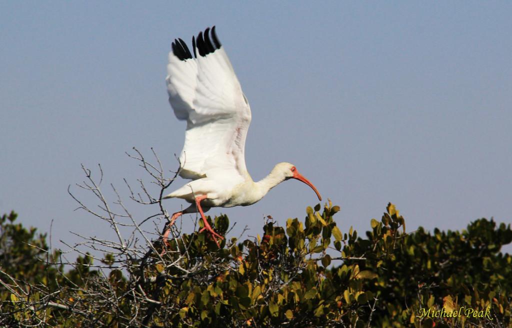 White Ibis 2