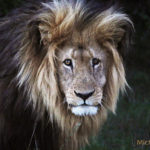 King African Lion